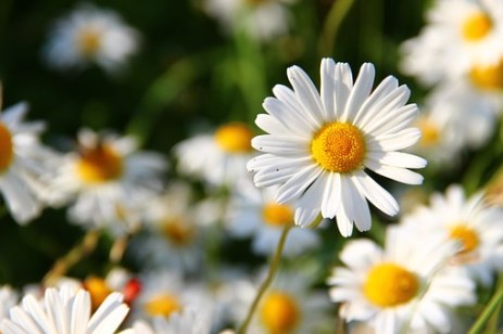 daisies-276112__340