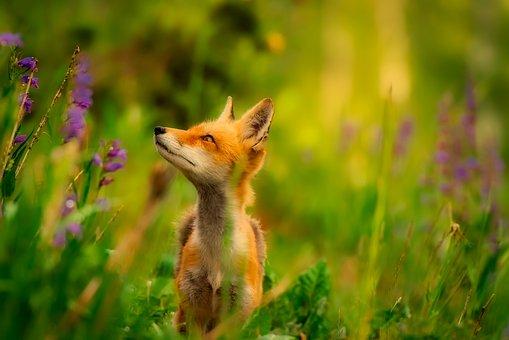 fox-2530225__340