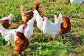 chicken-2789493__340