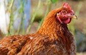 chicken-2901901__340
