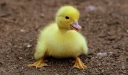 duckling-1596732__340