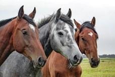 horses-1414889__340