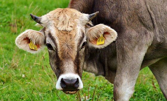 cow-2788835__340