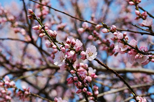 japanese-cherry-trees-3259835__340