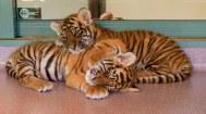 tigers-1432790__340